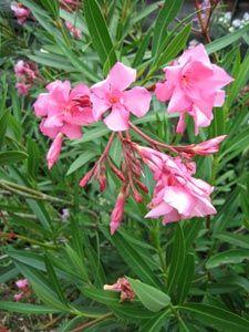 Faire pousser du laurier rose shrub gardens and flowers - Quand tailler les lauriers roses ...