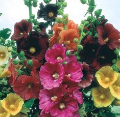 Alcea, commonly known as hollyhocks, is a genus of about 60 species of flowering plants in the mallow family Malvaceae.
