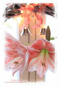 red and white amaryllis, silver bell & christmas light wreath