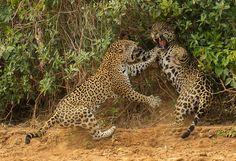 """© Joe McDonald / Wildlife Photographer of the Year 2013 """"Zank"""" Szenen einer Möchtegern-Ehe: Die Annäherung des Jaguar-Männchens (rechts) quittiert das Weibchen mit einem Prankenhieb (Pantanal, Brasilien)"""