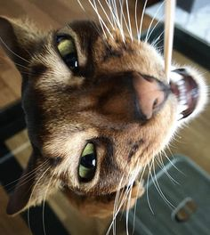 Abyssinian Cat, Somali, Cattery, Cat Stuff, North Africa, Beautiful Cats, Animal Memes, Animal Pictures, Cats And Kittens
