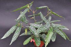 Begonia 'Winter Light'