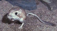 La Rata Canguro: Animales sorprendentes