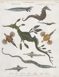 Antique print: picture of Sea Horses, Sea Dragons and Pipe Fish - Syngnathus, Pegasus and Centriscus