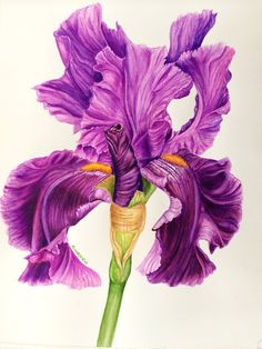 Iris Flowers, Botanical Flowers, Botanical Illustration, Botanical Prints, Illustration Art, Easy Watercolor, Watercolor Print, Watercolor Flowers, Watercolor Paintings