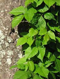 Poison Ivy Remedies  Baking soda & vinegar paste applied to area  Dish soap-help gets the oil of plant off skin  Banana peel-rubbed into effected area  Watermelon-rub the meat & rind onto area  Salt-relieves itching  Oatmeal bath-relieves itching  Apple cider- dries and promotes healing  Aloe vera gel-relieves itching