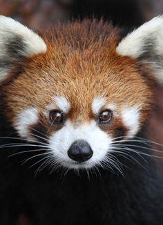 Superb Nature, h4ilstorm:   Red Panda Closeup (by Mark Dumont)