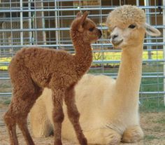 And maybe one of these when I get a female 'paca.