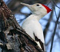Leucistic Pileated Woodpecker (Dryocopus pileatus.) ; January, 2011 in Chester County, Pennsylvania.   Photo by Bill Stewart