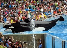 It has been announced that Tilikum has died at the age of 36. May his soul finally Rest In Peace among his family, finally swimming free in the ocean. We tried so hard to free him before the fatal effects of captivity stole his soul. Unfortunately, captivity had rendered him too weak. May SeaWorld finally recognize the pain that these creatures endure and may they end their suffering before it's too late. I'm sorry, Tilikum, for your sufferings. May you finally be free. ❤️