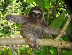 The sloth, known for its sluggishness, has carved out a clever mode of life as a kind of walking ecosystem, but its lifestyle does constrain its energy level.