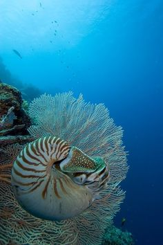 Chambered Nautilis