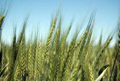 """Provocative thoughts on the parable of the wheat and the weeds.  """"Trust that God will sort it all out in the end. Sorting saints from sinners isn't your job. So let it be."""""""
