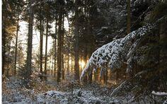Forêt, hiver, neige, aiguilles de pin, branche, arbres, barils, coucher de soleil, lumière, rayons Wallpaper