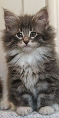 Norwegian Forest Cat                                                                                                                                                     More #fluffycatsbreeds