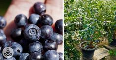 How to grow an unlimited supply of blueberries in your backyard