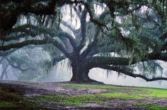 this old moss covered tree is incredible in it's size...love... This looks like one I saw in Biloxi Mississippi!