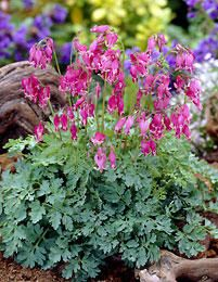 King of Hearts Bleeding Hearts - Dicentra - Shade - Gallon Pot Tall Plants, Bleeding Heart, Plants, Woodland Garden, Little Plants, Perennials, Trees To Plant, Flowers, Shade Plants