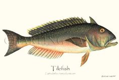 'Tilefish' giclee print by Brenda Guild Gillespie via Charting Nature http://www.chartingnature.com/fish-print.cfm/Tilefish-fish-illustration-print/2500
