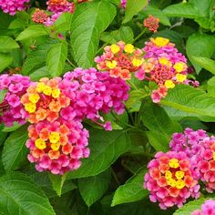 Landmark Sunrise Rose Improved Lantana. For a kaleidoscope of color in hot, dry, sunny areas, try Landmark Sunrise Rose Improved lantana. Flower clusters emerge rosy pink but transition to peach and yellow as individual florets age. Hummingbirds and butterflies love the blooms, and deer leave the plant untouched in my yard. The foliage has a pleasant lemon scent. I love all Lantanas, they're so pretty!.