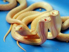 albino_cobras_1sfw, by 2-week-old Sri Lankan albino cobras show at the National Zoological Gardens in Colombo,