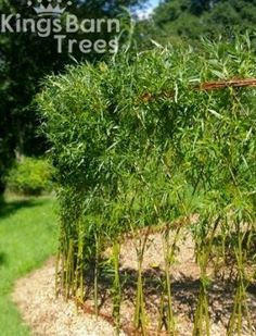 Living Willow Woven Fedge (Fence) Kit - Large (Height 1.5m)