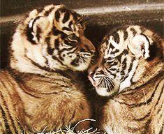 animals baby animals tigers tiger cubs