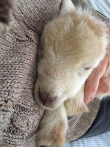 (HOMEGROWN.org) HOMEGROWN Life: Mairzy Doats, A Lambing Time Theme Song