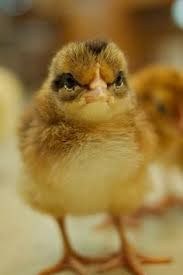 angry chicken - Google Search