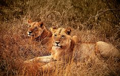 Jóvenes Leones, Parque Nacional de Tsavo West -   Lions of Tsavo West National Park (August 2005)    www.vicentemendez.com