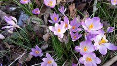 Spring Violet.