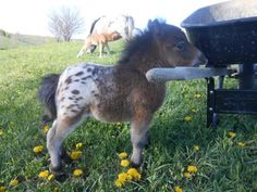 Adorable. I love miniature horses & this little baby is just precious.