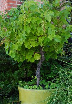 grapes trained into patio trees