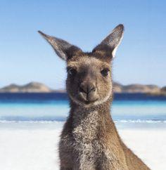 """When you accidentally eat a whole canopy of eucalyptus leaves 🌳😁 (via at Kuranda Koala Gardens in Animals And Pets, Baby Animals, Cute Animals, Strange Animals, Wild Life Animals, Beautiful Creatures, Animals Beautiful, Australian Animals, Tier Fotos"