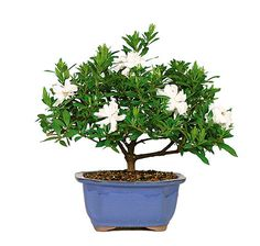 The Gardenia Bonsai Tree is known and loved for the splendid, white flowers that bloom from its branch March through June. They are popular Mother's Day Gifts and add color to any home decor! The flowers have a texture like a fine, white suede that produce a wonderful fragrance that has been used to make perfumes for centuries. The dark green foliage combined with the white of the flowers is sure to throw a splash of color and scent where you need it most!