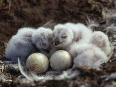 These snowy owlets will grow to be 20 to 27 inches (51 to 69 centimeters) long. - HowStuffWorks
