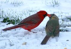 Cardinals in Love. Cardinals are supposed to be lifetime partners, and this is an example of true love, as they share the sunflower seed. Yes it is Spring even though there is snow on the ground. Pretty Birds, Love Birds, Beautiful Birds, Animals Beautiful, Cute Animals, Cardinals, Weather Underground, Cardinal Birds, Mundo Animal