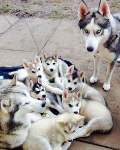 Siberian Husky Dogs Lots of cute Husky puppies! Cute Husky Puppies, Husky Puppy, Dogs And Puppies, Fluffy Puppies, Pet Puppy, Beautiful Dogs, Animals Beautiful, Beautiful Family, Dog Zoomies