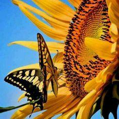 Sunflower W/ Butterfly