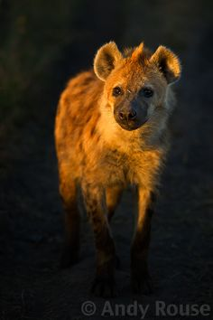 Hyena by Andy Rouse Animals And Pets, Baby Animals, Cute Animals, Wildlife Photography, Animal Photography, Brown Hyena, Wolf Hybrid, African Wild Dog, Carnivore