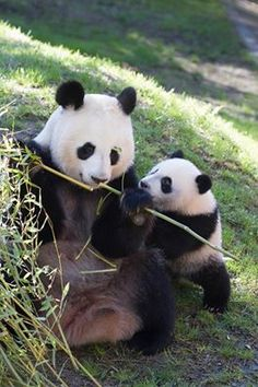 Today we celebrate! Xing Bao, our baby Panda bear meets his first year of life and we can only. The little has been a change incredible and it has become an expert climber of trees. If you want to celebrate this great event, come to his birthday party next Saturday, 6 September. Madrid