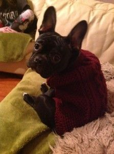Quentin the black French Bulldog looking very fetching in his new jumper