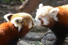 Two Red Panda Cubs (Alan Porritt)
