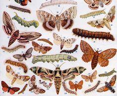 British Moths and their Caterpillars.  Arthur Mee ed., The Children's Encyclopedia, (London: The Educational Book Company, circa 1920).