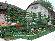 Spalier-Obstbäume, vorgeformt für Obstspaliere