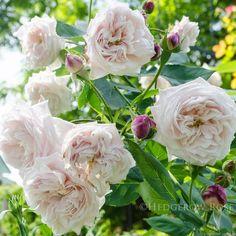 'Comtesse de Rocquigny' Rose Photo
