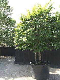 Epic Carpinus betulus