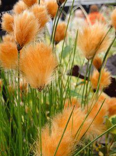 Eriophorum russeolum Eriophorum russeolum, Carl E Lewis (ornamental grasses add so much interest to a flower garden) Outdoor Plants, Outdoor Gardens, Home Garden Plants, Bog Garden, Garden Grass, Shade Garden, Pampas Grass, Ornamental Grasses, Ornamental Grass Landscape