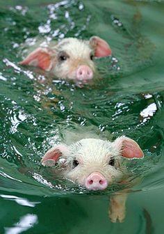 Swimming pigs!  かわいいから見て♪