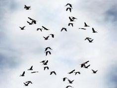 Yellow-Tailed Migration - bird photography print by nature photographer and wildlife carer Angela Roberston-Buchanan. Bird In A Cage, Bird Migration, Australian Animals, Wildlife, Yellow, Artist, Photography, Green, Weddings
